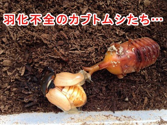 羽化不全のカブトムシ
