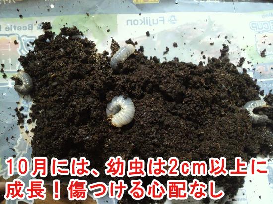 10月頃のカブトムシの幼虫