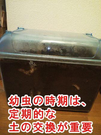 カブトムシが幼虫の時期に土を交換する方法