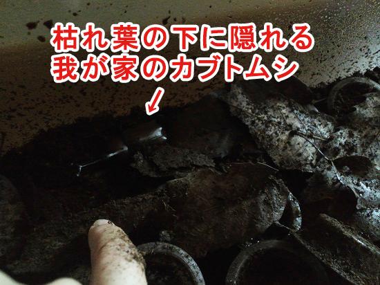 枯れ葉マットの下に隠れるカブトムシ