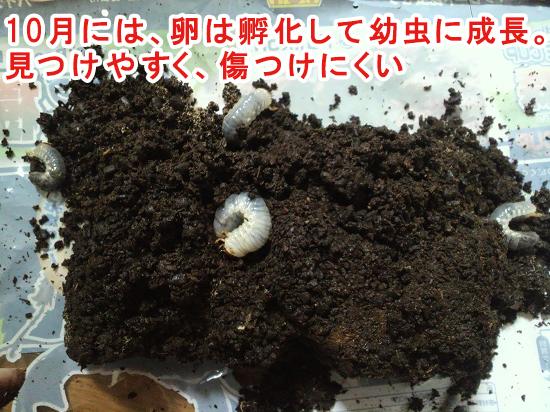10月のカブトムシの幼虫