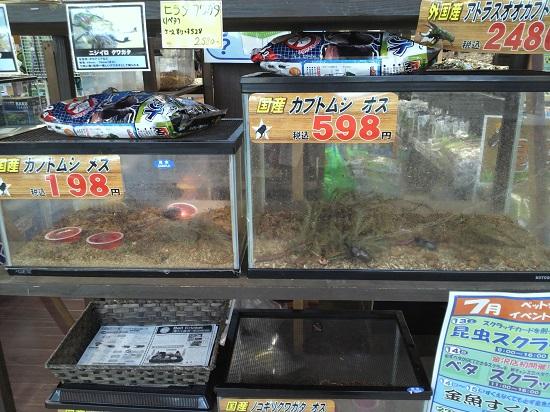 ペットショップで販売されているカブトムシ