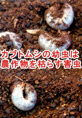 カブトムシの幼虫は、農作物にとって害虫