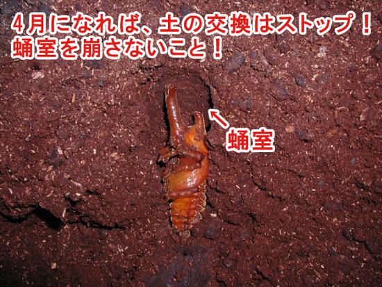 カブトムシ 幼虫 土から出てくる