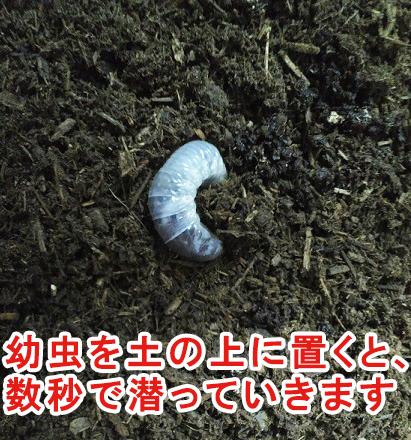 土に潜る幼虫