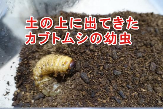 土の上に出てきたカブトムシの幼虫