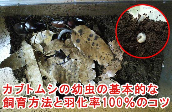 カブトムシの幼虫の基本的な飼育方法と羽化率100%で育てる3つのコツ