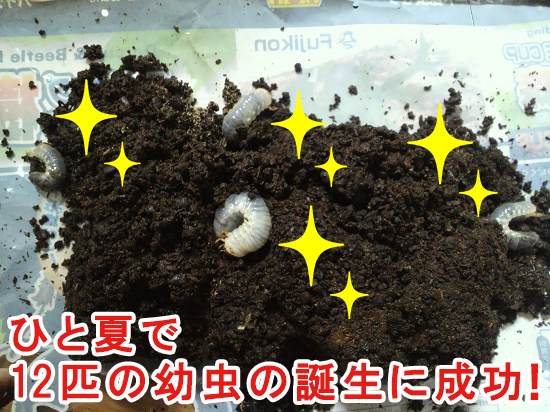 ひと夏で幼虫12匹の誕生に成功!