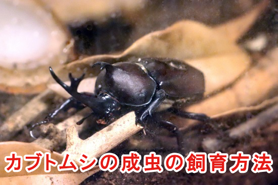 カブトムシの成虫の飼育方法
