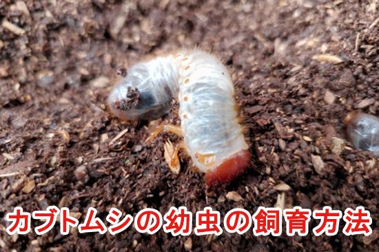 カブトムシの幼虫の飼育方法