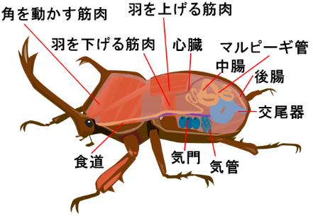 カブトムシの成虫の断面図