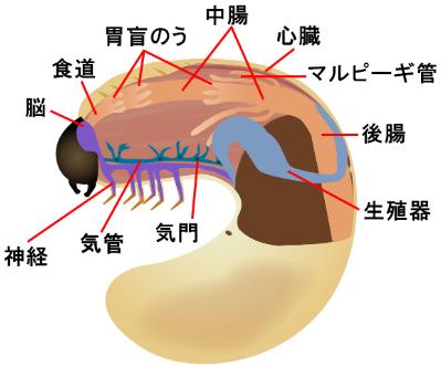 カブトムシの幼虫の体の断面図