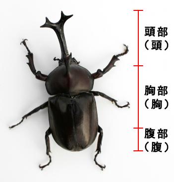 カブトムシの成虫の体_3パーツ