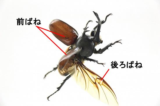 カブトムシの飛行