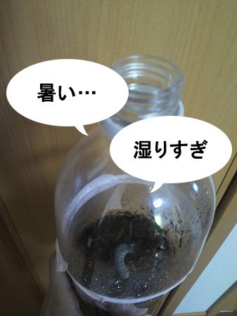蒸し暑いケースの中のカブトムシ