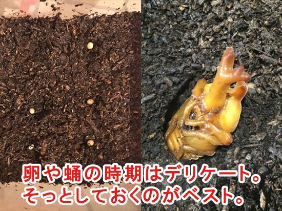 卵や蛹の時期はそっとしておくのがベスト