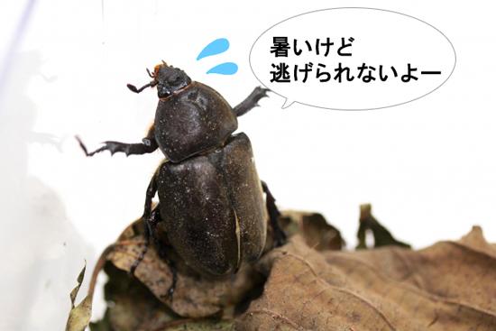 飼育下のカブトムシは快適な温度・湿度の場所に逃げられない
