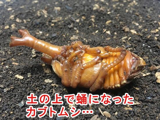 土の上にあるカブトムシの蛹