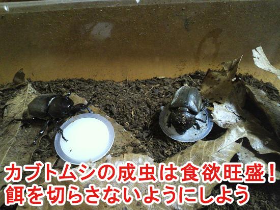 カブトムシが成虫の時期の飼育方法