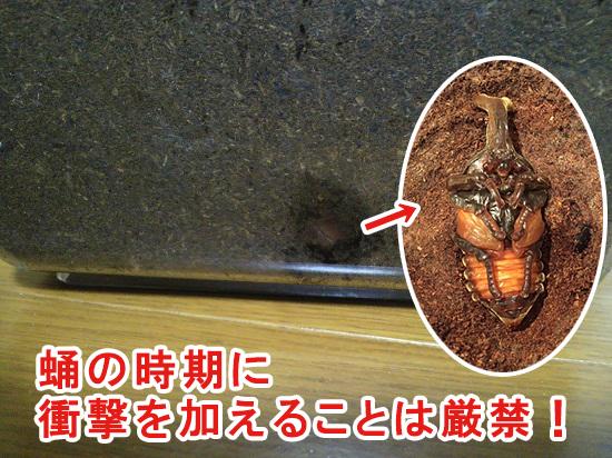 カブトムシが蛹の時期に土を交換するのは厳禁