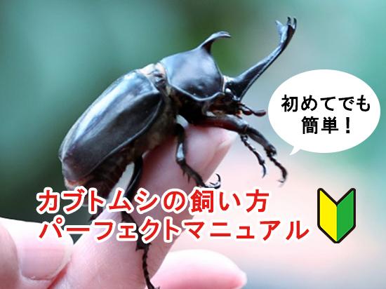 カブトムシの一生と飼育スケジュール、飼育に必要なものを紹介