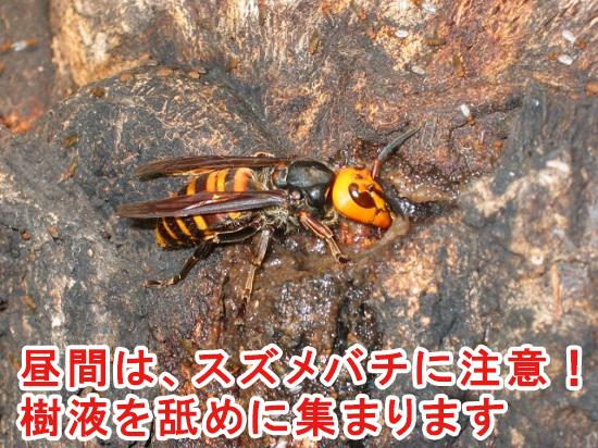 カブトムシ採集はスズメバチに注意