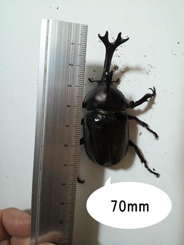 カブトムシのサイズ03