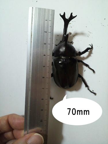 カブトムシのサイズ05