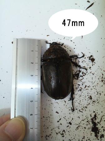 カブトムシのサイズ11