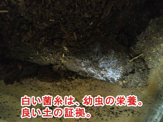 マルカンのバイオ育成幼虫マットに生える菌糸