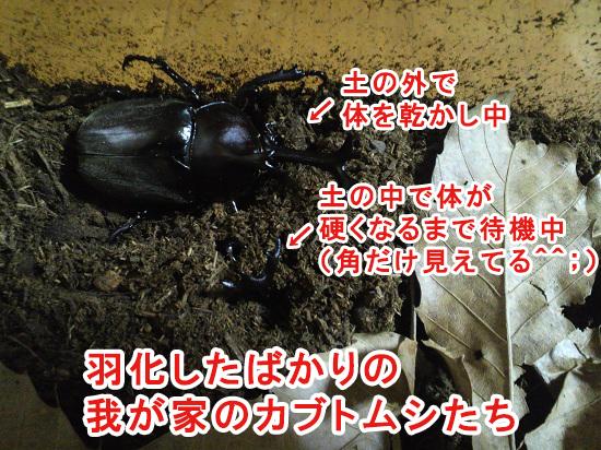 僕が育てたカブトムシたち
