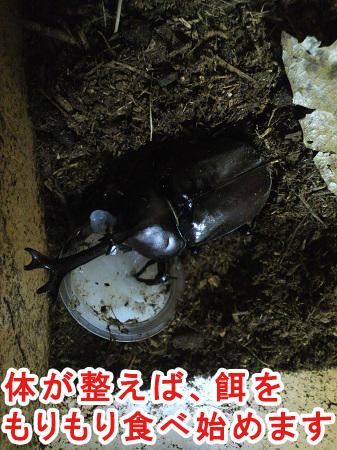 昆虫ゼリーを食べるカブトムシ