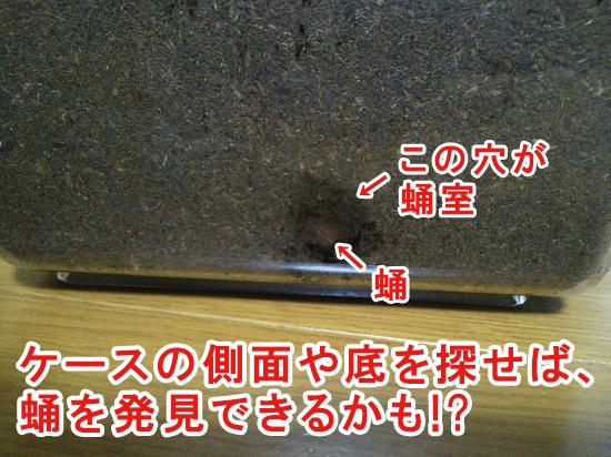 ケースの側面に発見した蛹