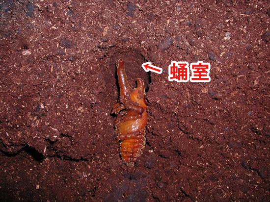 カブトムシの蛹室