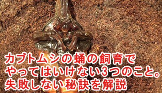 カブトムシの蛹の飼育でやってはいけない3つのこと。失敗しない秘訣を解説