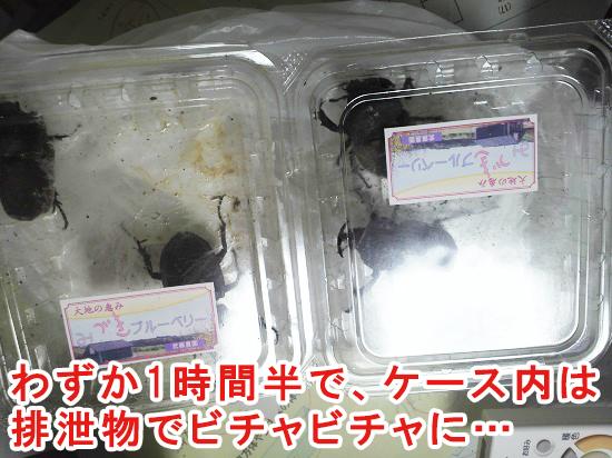 水分量の多い餌を食べたカブトムシ
