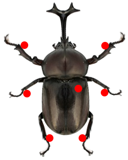 昆虫針などでカブトムシを固定する