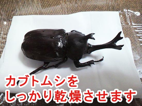 カブトムシの体を乾燥させる