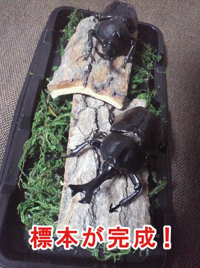 完成したカブトムシの標本01