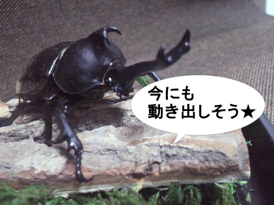完成したカブトムシの標本02