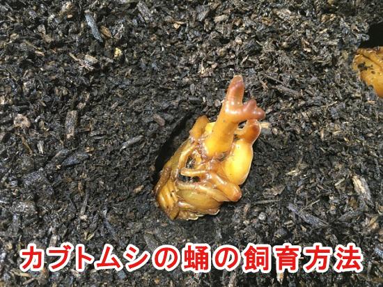 カブトムシの蛹の飼育方法