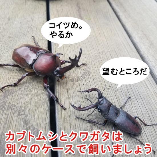 カブトムシとクワガタは一緒に飼育すると喧嘩する