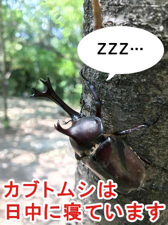 カブトムシは日中に寝る