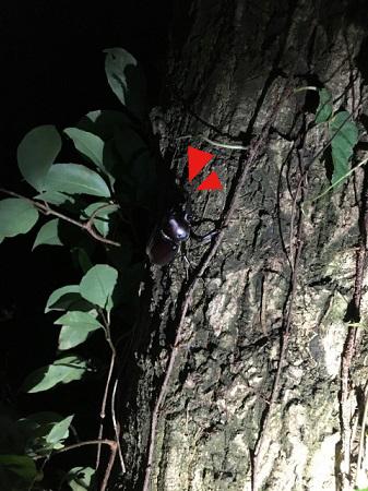 暗闇に紛れるカブトムシ