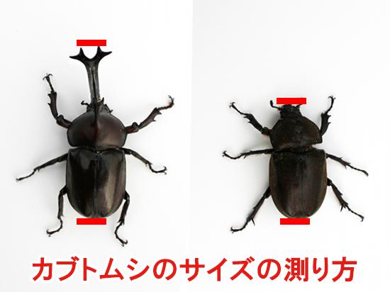 カブトムシのサイズの測り方