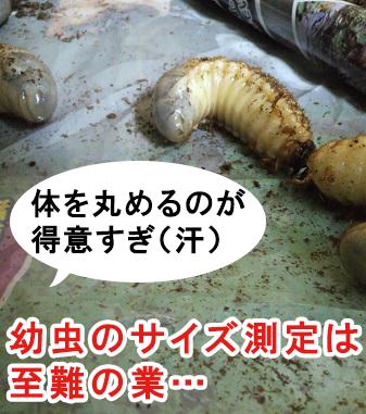 カブトムシの幼虫は体を丸めるのが得意