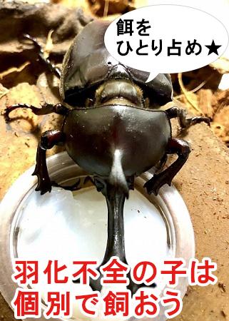 羽化不全のカブトムシは1匹で飼うのがおすすめ