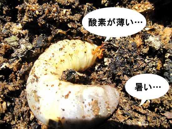 酸欠のカブトムシの幼虫