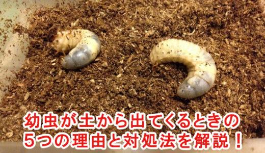 カブトムシの幼虫が土から出てくるときの5つの理由と対処法を解説!
