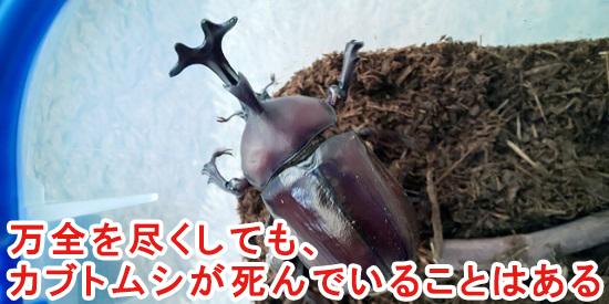 カブトムシが死んでいる可能性はある